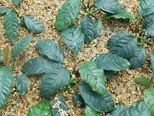 1 pot anubia coffefolia tres rare plante aquarium  pour nano bac et cichliides