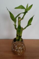 Lucky Bamboo  - indoor house plant bring good luck and good Feng Shui