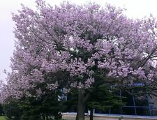 200+ seeds, Royal Empress Tree, Paulownia tomentosa