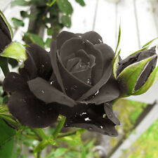 Turkey Black Rose 50 Seeds Local Farmer Black Metal Real Natural Color Rose