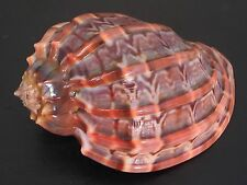 A Masterpiece...HARPA CABRITI~83mm!!/Gem~Madagascar SEASHELL