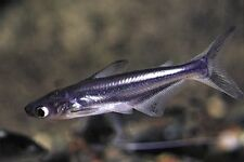X12 IRIDESCENT SHARKS FISH  - FRESH WATER LIVE FISH *BULK SAVE