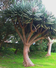 Dragon Tree - Dracaena draco - Plant
