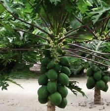 Dwarf Papaya Seeds ~ TR Hovey ~ Carica L. Caricaceae ~ MINIATURE TREE ~ 20 Seeds
