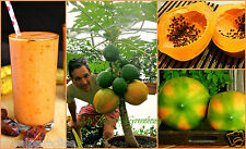 "10 Seeds Dwarf ""Coorg Honey Dew"" Papaya Tree -Easy Grow indoor/outdoor in a pot!"