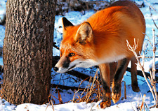 RED FOX - 3D Postcard Lenticular - Greeting Card