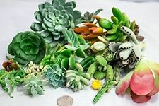 New Fat Plants San Diego Twenty Five Small Succulent Cuttings gorgeous