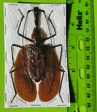 Giant Violin Beetle, Banjo Beetle Mormolyce phyllodes 95mm FAST SHIP FROM USA