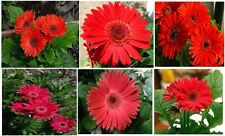RED Gerber Daisy Beautiful Large Blooms   Annual Flowers               25 Seeds
