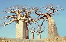 BAOBAB (Adansonia digitata) 10 seeds