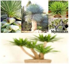 (15) YUCCA SPECIES Mix Seeds - CACTUS SUCCULENT INDOOR HOUSEPLANTS - Comb. S&H