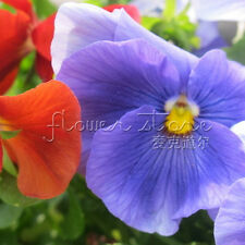 100 Pansy Seeds Resistance Dry Lovely Beautiful Plant original packing TT063