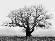 OLD OAK TREE BLACK WHITE MIST FOG PHOTO ART PRINT POSTER PICTURE BMP915A