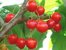 Barbados Cherry Tree 2 Cuttings Sweet Tropical Fruit Cancer Fighting Superfood
