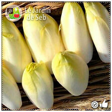 100 Graines d'Endive Witloof