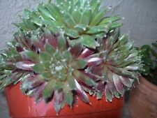 "~SEMPERVIVUM 'GREEN APPLE'~Gorgeous prolific 1 1/2-2"" plant succulent echeveria"