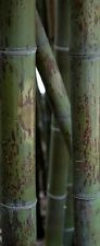 Phyllostachys nigra 'Bory', Tiger live giant timber black bamboo plant.