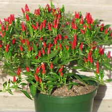 100 Graines Thai Soleil Piment Capsicum Annuum D'ornement Chili