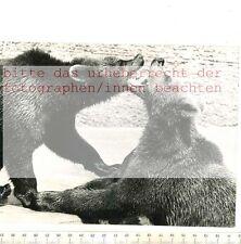 ORIGINAL PRESSEFOTO: 1959 - BÄRENHUNGER HABEN DIE KAMTSCHATKA BÄREN