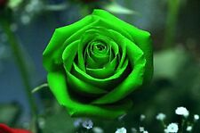 Beautiful Green  Rose Flower Seeds 100 SEEDS