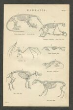 c1885 Antique Print of Mammal Skeletons Bat Skeleton
