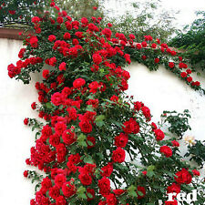 100PCS Red Climbing Rose Seeds Multiflora Perennial Fragrant Flower Home Plant