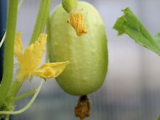 CUCUMBER SEEDS CRYSTAL APPLE ( 20 SEEDS )