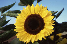 Sunflower Giant Yellow  50 seeds - ORGANIC