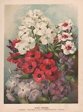 1898 ANTIQUE FLOWER PRINT: HARDY PHLOXES