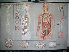 Schulwandkarte Wandkarte Wandbild Bild Nerven Nervensystem Gehirn Reize 167x115