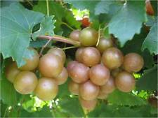 (10) Bronze Muscadine Scuppernong Scuplin Grape Vine CUTTINGS North