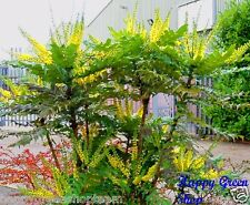 OREGON GRAPE Mahonia aquifolium 33 seeds Bonsai Oregon Holly Grape shrub