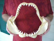 "(SJ130-3) RARE 11-1/2"" GREAT WHITE SHARK JAW jaws Teeth Tooth Carcharias"