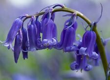 50 ENGLISH BLUEBELLS (Top Quality Freshly Lifted Bulbs, Native Bluebells
