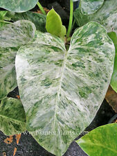 """Rare PHILODENDRON """"Elephant Ear Vareigated"""" Very Beautiful Leaf+Free Phyto!!"""