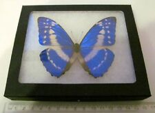 REAL BLUE PERUVIAN MORPHO CYPRIS FRAMED BUTTERFLY INSECT