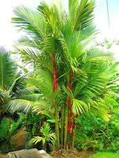 Cyrtostachys renda - Sealing Wax Palm Lipstick Palm Tree - 10 Fresh Seeds