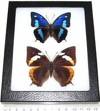 REAL FRAMED BUTTERFLY BLUE ECUADOR ANAEA CYANEA PAIR MALE RARE FEMALE