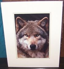 """Wolf's Head Alpha Male WOLF Orig Lge Color Photograph Mat 14x11"""" signed Stamates"""