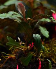 """Bucephalandra """" Brownie Athena """" RARE Aquatic Plant"""