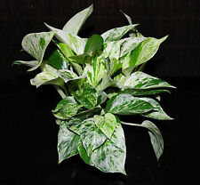 "2 Marble Queen Pothos 4""Pots Easy Tropical Vining House Plant SUPER LARGE & FULL"