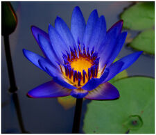 Blue  Water lilies /water features/ponds Plants/5 finest viable seeds