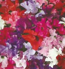 "Pack of 10 ""Bijou"" Sweet Pea Seeds NEW!"