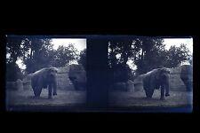 Zoo de Paris Éléphant Photo Amateur Plaque verre stéréo NEGATIF