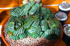 1 PIANTA di Haworthia truncata var. MAJOR 3cm (piante grasse) no variegated