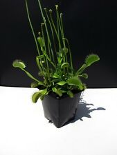 Venus Fly Trap 4 Kids Children Carnivorous House Garden Plants Dionaea Muscipula