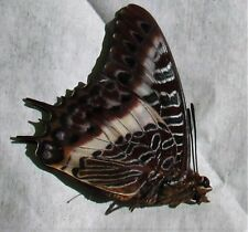 Lot of 10 White-barred Emperor Butterfly Charaxes brutus angustus Male Papered