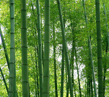 100 seeds of giant moso bamboo tree  Phyllostachys pubescens Hardy