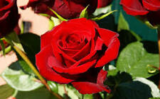RED ROSE PLANT WITHOUT NAME live Plant with polly pack,