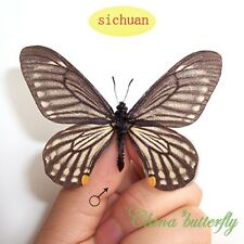 5 unmounted butterfly Chilasa epycides epycides A1and A1-